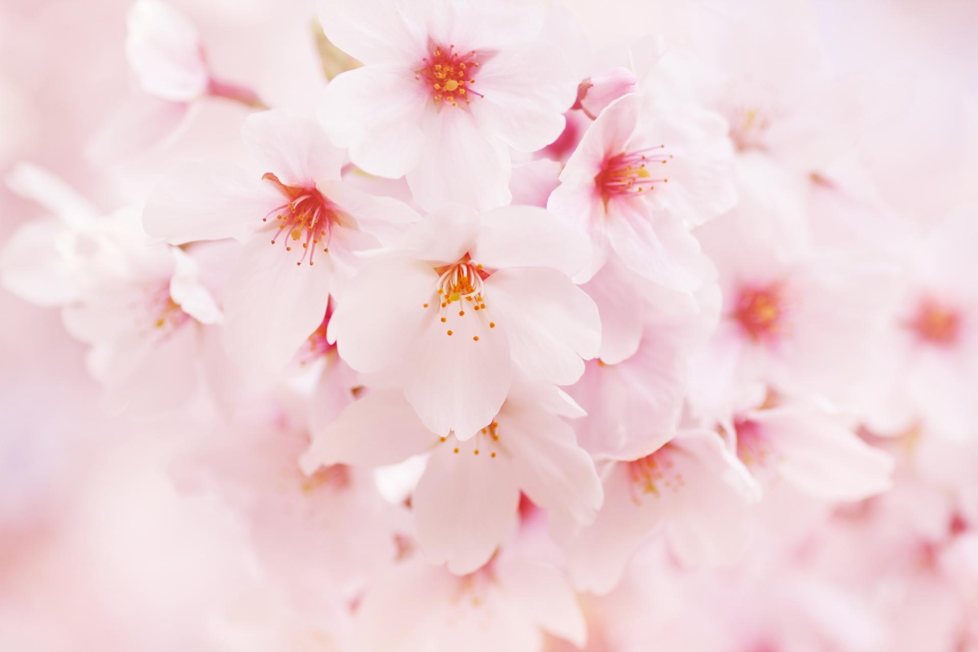 桜のお菓子 お取り寄せスイーツおすすめ10選!お花見や手土産に♪
