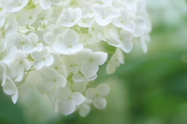 紫陽花の種類で人気のアナベルはどんな花?ピンク色や八重咲もある?