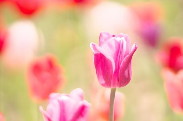 チューリップの花が終わったら?球根を掘り上げる時期と方法は?