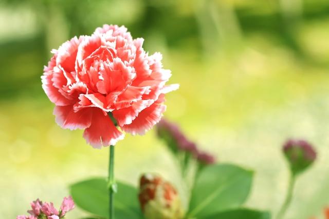 母の日の鉢植えカーネーションを長持ちさせるお手入れ管理方法は?