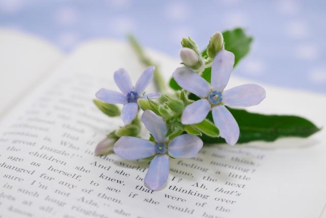ブルースター(オキシペタラム)を苗から育ててみよう!夏も咲く花♪