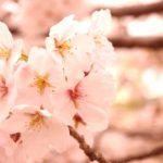 岡山の桜の名所 井原堤 川沿いに続く桜並木と夜のぼんぼりも幻想的
