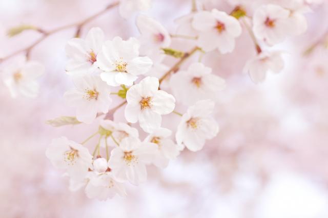 岡山倉敷のお花見スポット 夜桜・ライトアップも美しい酒津公園