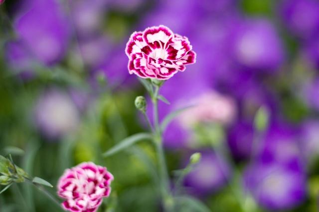 カーネーションの鉢植えを翌年も咲かせるには?さし芽で増やす方法も