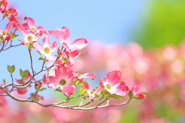 ハナミズキ花水木の花言葉は?その由来や桜との関係。悲しい伝説も