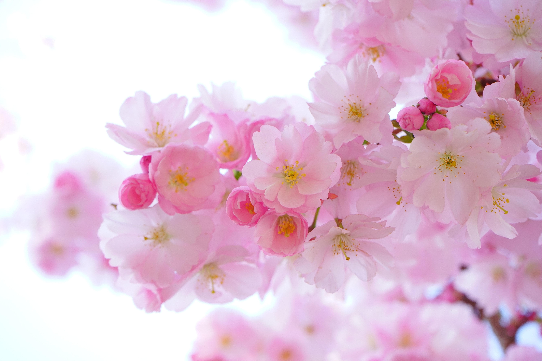 桜の花びらの枚数は何枚? 花びらが300枚もある桜があるってホント?