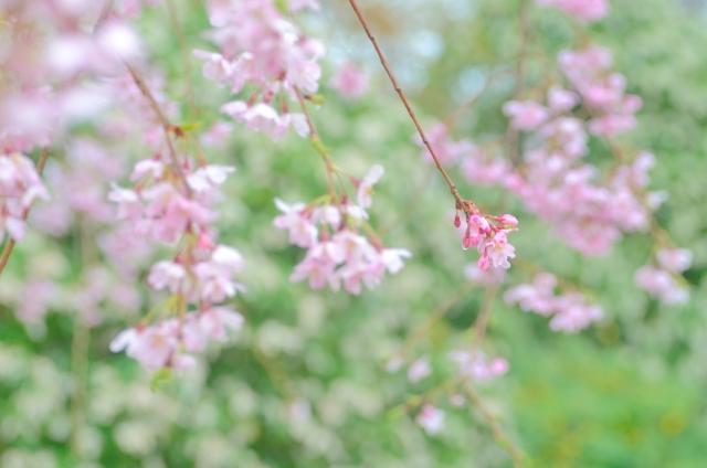 催花雨(さいかう)とはどんな雨?桜にまつわる美しい天気のことば