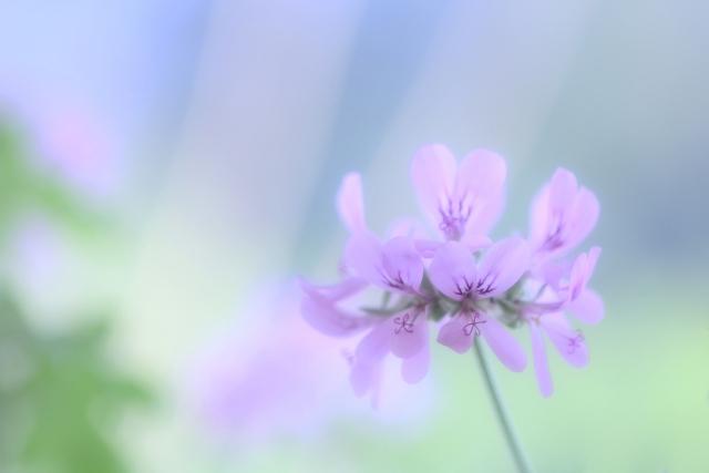 ローズゼラニウムの鉢植えをベランダで苗から育てる栽培記録
