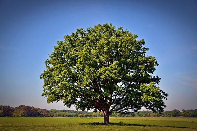 柏餅の葉っぱは何の木の葉?代用品はある?葉っぱの作り方は?