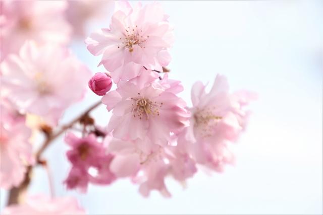 桜の満開って何分咲きのこと?満開=10分咲きじゃない?