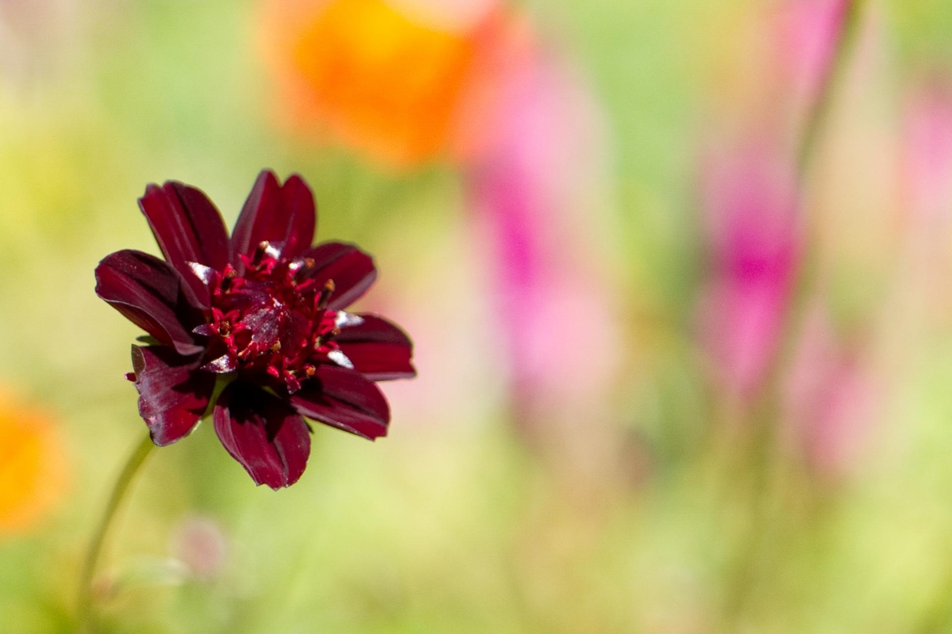チョコレートコスモスの品種は?花色や四季咲きなど種類もいろいろ