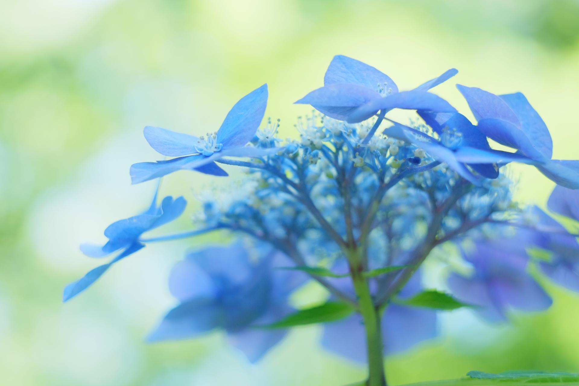 紫陽花の漢字の由来は?あじさいの名前の語源と紫陽花の当て字の背景
