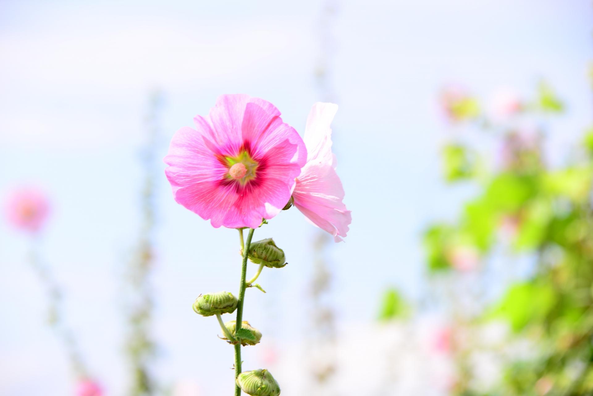 タチアオイは梅雨明けを知らせる花!?開花時期や見頃はいつ?