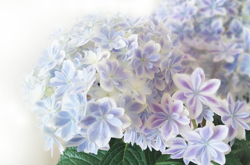紫陽花|万華鏡の育て方と剪定方法は?挿し木や地植えはできる?