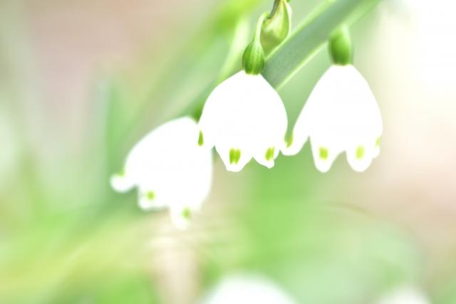 すずらんに似ている花|スノードロップとスノーフレークの違いは?