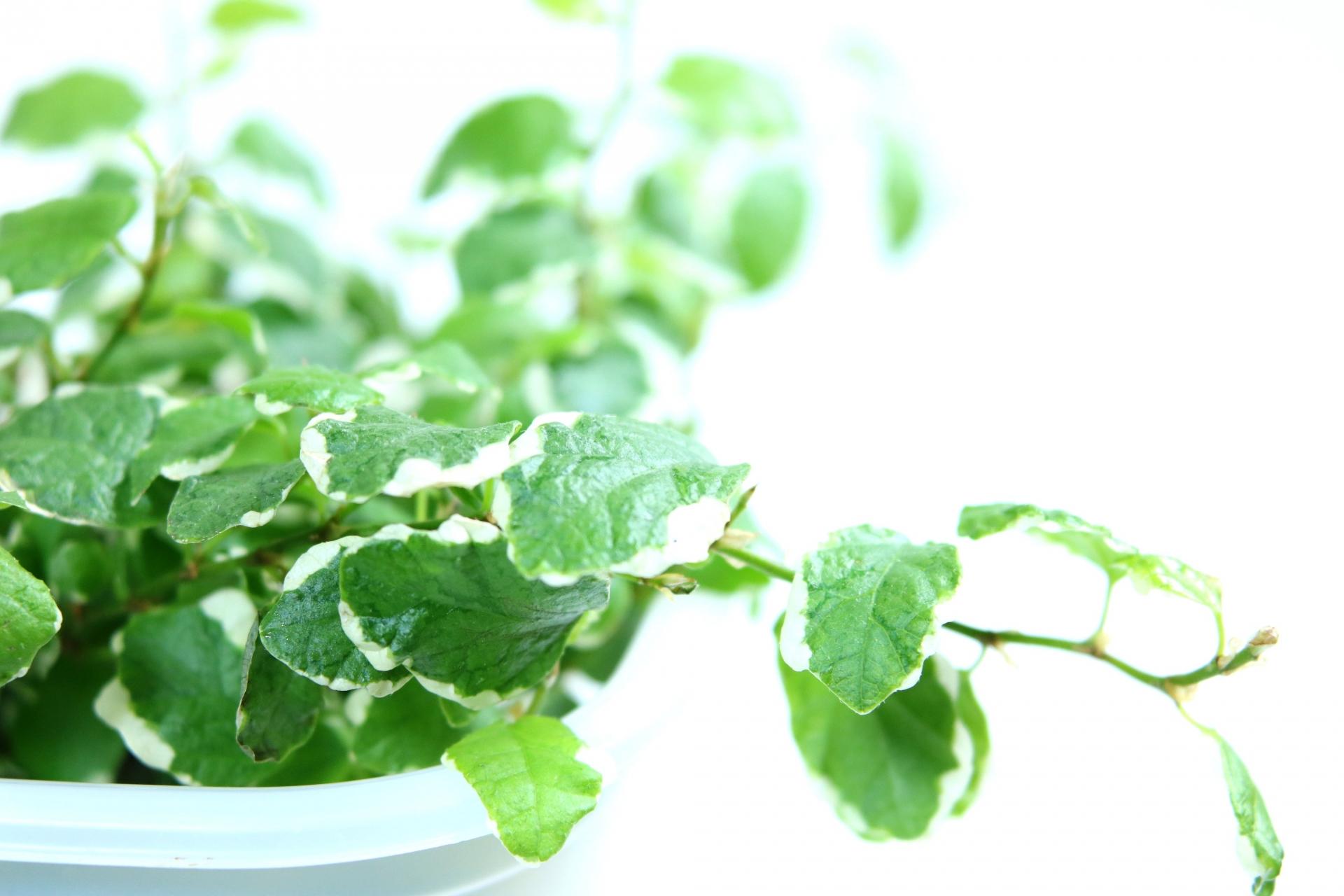 ダイソー植木鉢レビュー|底面給水できる受け皿一体型組み立て植木鉢