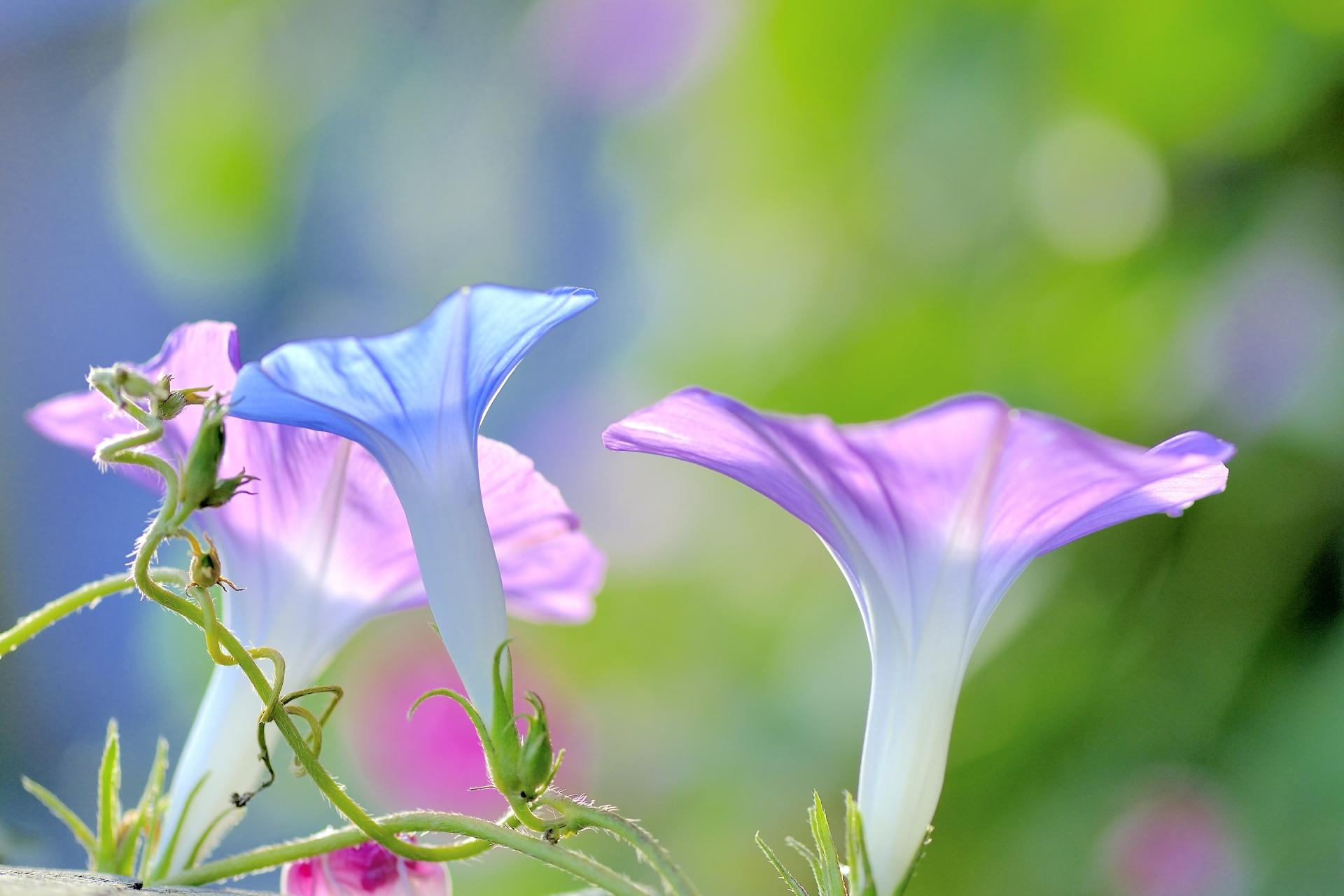 朝顔・昼顔・夕顔・夜顔の違いは?見分け方は花の咲く時間帯と・・