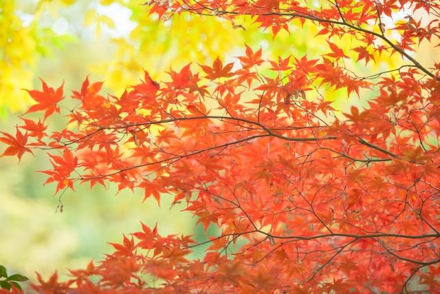 もみじとかえで(紅葉と楓)の違いはコレ!名前の由来や紅葉の種類も