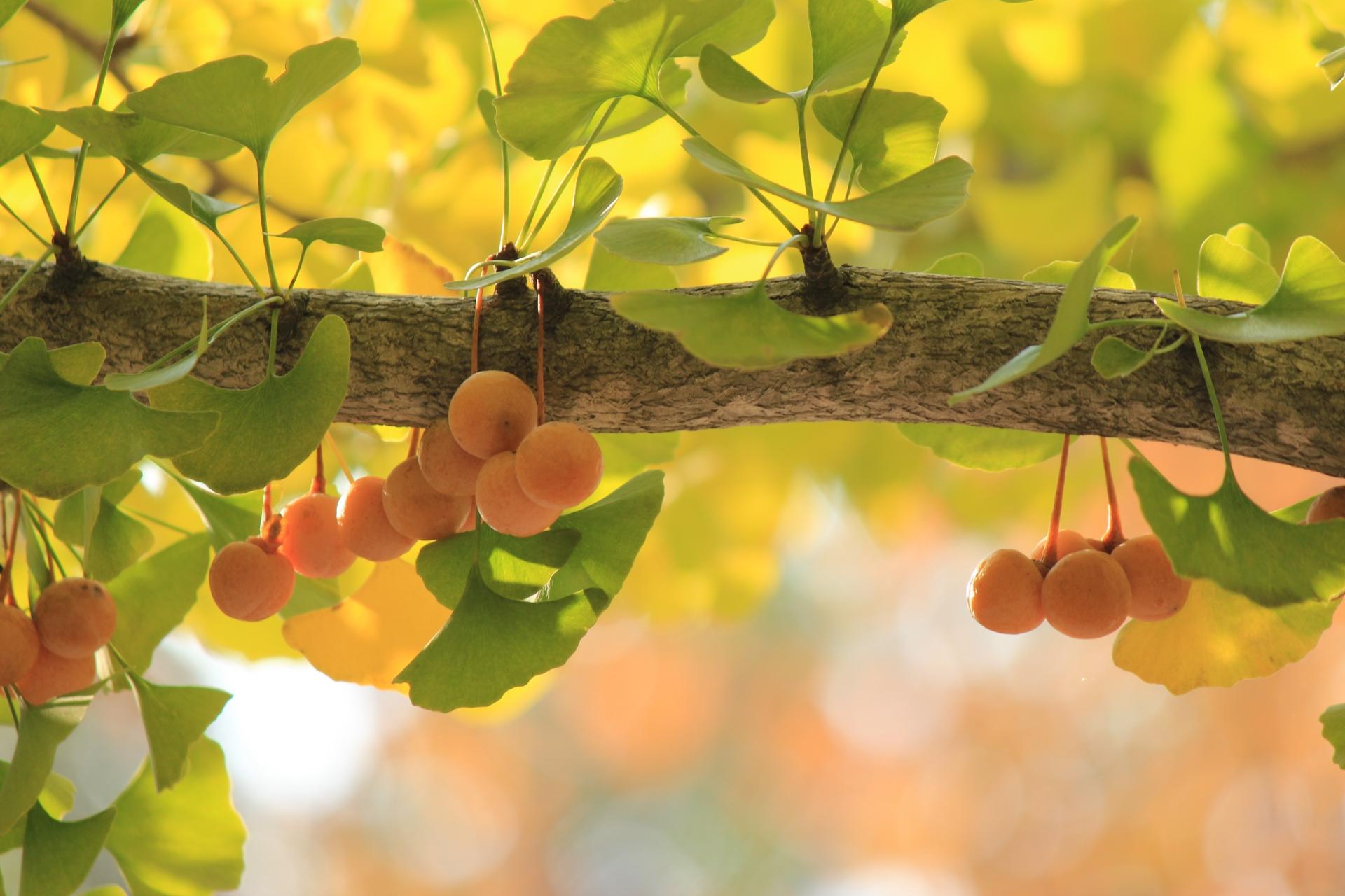 銀杏の収穫時期はいつ?拾い方や処理方法、イチョウの雄雌の見分け方