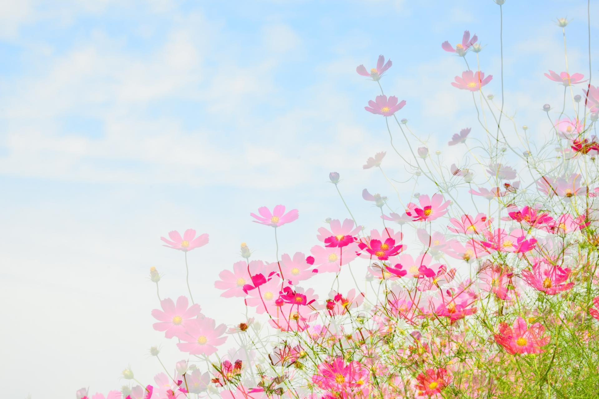 笠岡ベイファームのコスモス畑の見頃・開花はいつ?コスモスフェスも